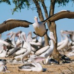 Pete's New Book - Lake Eyre & The Pelicans   Australian Photography Tours and Workshops