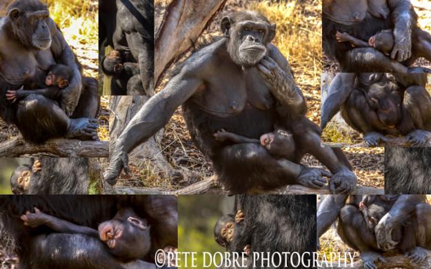 Chimps-1Blog