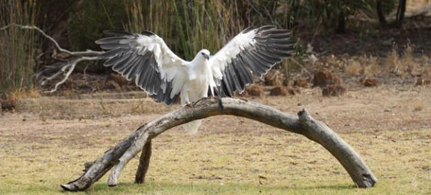 Birds of Prey Kangaroo Island Tours