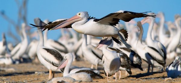 Lake Eyre –The Pelicans in Outback Australia Book by famous Australian photographer Pete Dobre - Page 100 101