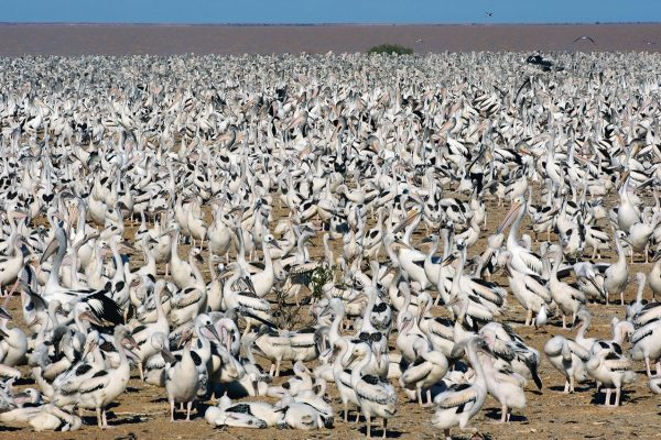 Lake Eyre –The Pelicans in Outback Australia Book by famous Australian photographer Pete Dobre - Page 14